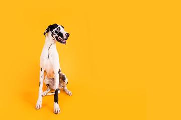 Obraz Large Great Dane Dog on Yellow Background - fototapety do salonu