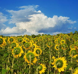 Fototapete - A huge field with sunflowers turned away from the setting sun against a cloudless blue sky