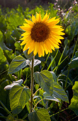 Fototapete - flower of young sunflower separately alone