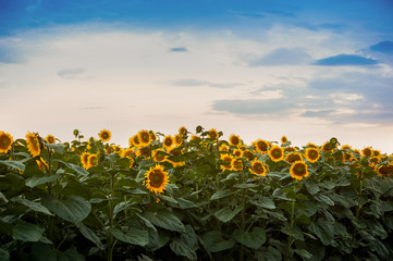 Wall Mural - view on sunflower field with cloudly sky