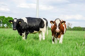 Fototapete - eine Holstein-Friesian-Rind mit einen Rotbunten-Rind auf der Weide