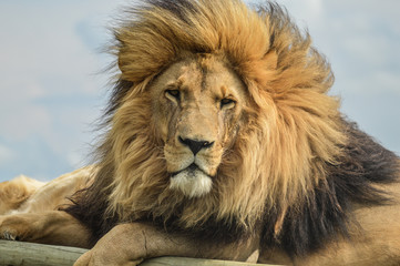 Closeup of a majestic young brown lion during a South African Safari