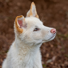 Australian Dingo Puppy