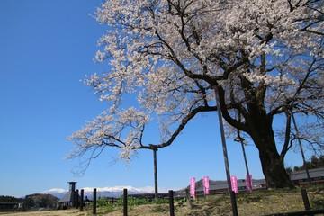 万燈桜(福島県・二本松市)