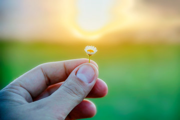 Small daisy flower in a male hand on a background of sunny sunset