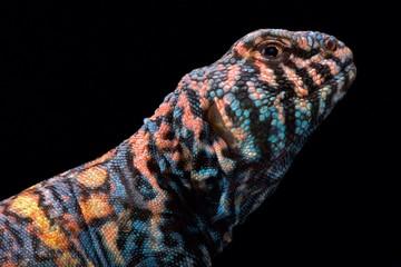 Wall Mural - Ornate spiny-tailed lizard (Uromastyx ornata ornata)