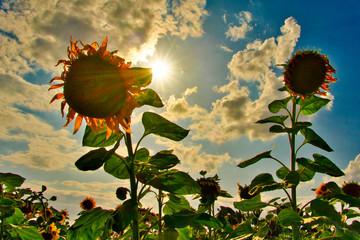 Sonnenblume im Gegenlicht mit blauem himmel