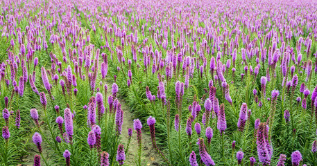 Purple flowering Liatris spicata plants in rows