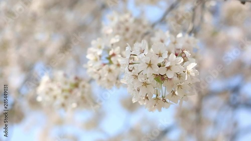 Wall mural cherry blossom with soft wind is blowing, flower background.