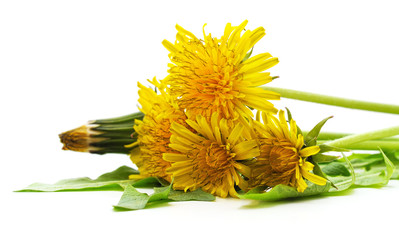 Dandelion with leaves.