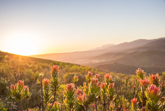 Sunset over valley with protea flowers in foreground
