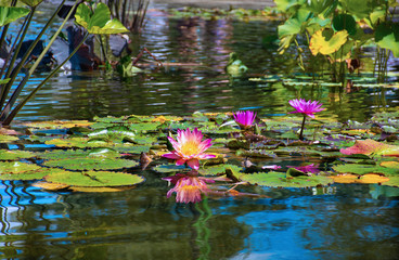 Wall Murals Water lilies Beautiful pink flowers Water Lilies blooming in Central Park, Manhattan, New York City, USA.