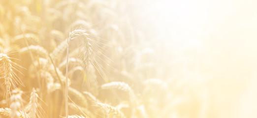 Poster Amsterdam Golden wheat field