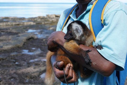 lemur auf dem arm bei einem mann auf madagaskar