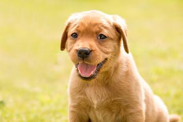 Redfox Labrador Retriever Welpe lächelt im Halbportrait zum betrachter