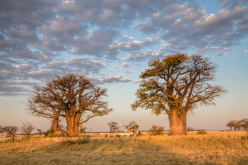 Poster Baobab Camping under baobab trees in Botswana
