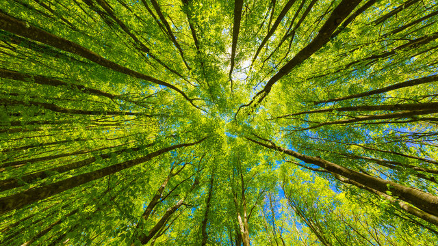 Looking up at the green tops of trees