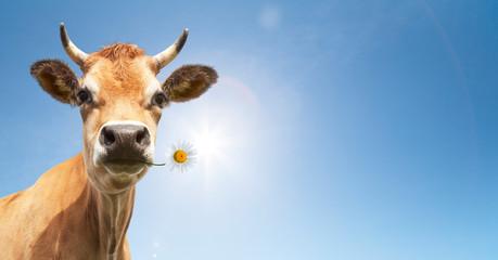Photo sur Plexiglas Vache Kuh mit Blume im Maul