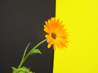 Pot marigold Flower, Calendula officinalis, isolated on a black and yellow background