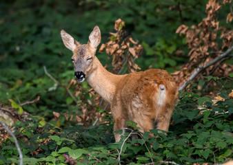 Laughing Roe Deer