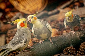 miniature cockatoo - Nymphicus hollandicus Fotoväggar