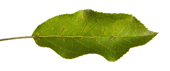 green leaves of an apple tree on an isolated white background.
