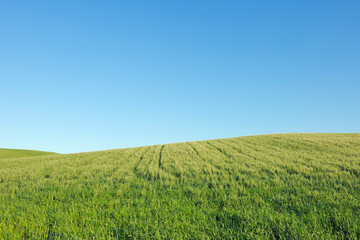 Spain, Ronda, view to green wheat field in front of blue sky