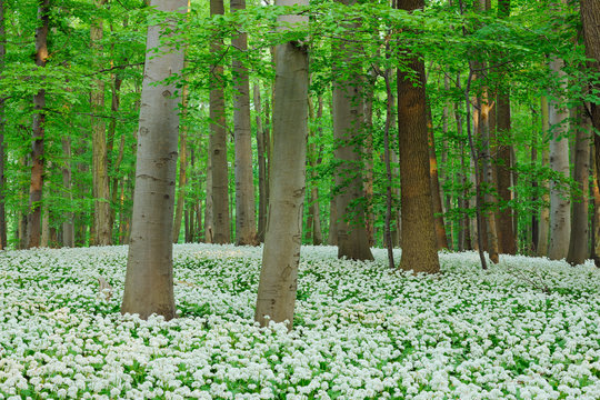 Germany, Thuringia, Hainich National Park, view of blossoming ramson and beech trees in forest