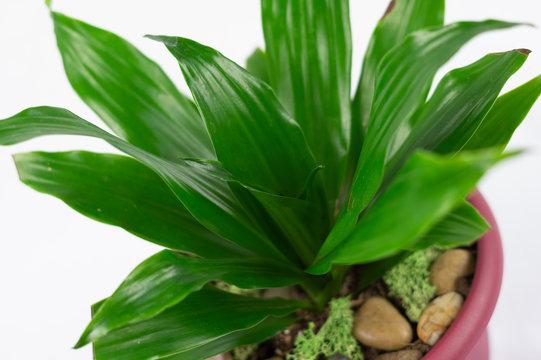 Isolated Draceana houseplant