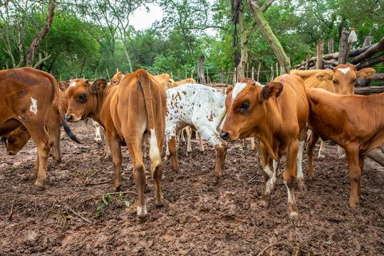 Herd of cows walking through the countryside in Amazonia - Bolivia