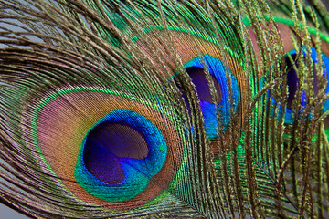 beautiful peacock feather background