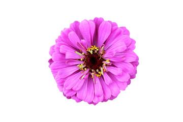 Isolated photo of a purple zinnia flower