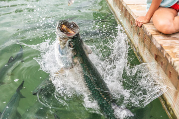 Tarpon feeding in the Keys in Florida. Close up of man hand feeding big tarpons fish jumping out of water - a fun tourist travel vacation activity in the Florida Keys.