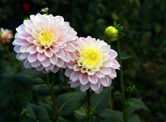 Blooming pink dahlia in the garden. Dahlia is a genus of bushy, tuberous, herbaceous perennial plants native to Mexico. There are 42 species of dahlia, with hybrids commonly grown as garden plants.