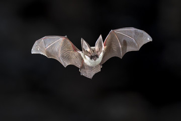 Flying Grey long eared bat Wall mural