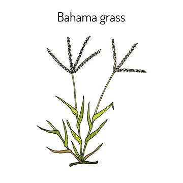 Bermuda or Bahama grass Cynodon dactylon , medicinal plant