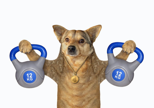 The dog athlete with a sports medal is lifting kettlebells of 12 kilograms. White background. Isolated.
