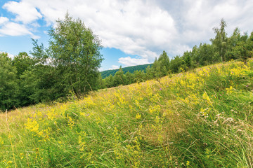 grassy glade in mountain. beautiful nature scenery on a cloudy day among the forest in summer time. wild herb of tutsan on the meadow