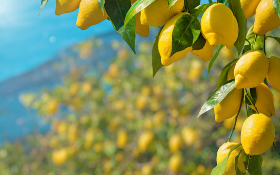 Beautiful lemon garden, bunches of fresh yellow ripe lemons with green leaves