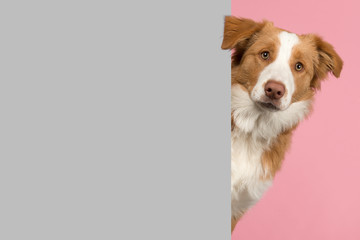 Portrait of a red border collie dog looking around the corner of a grey empty board for copy space