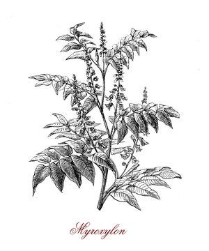 Myroxylon tropical American tree, from the latex derives a balsam called Balsam of Peru or Tolu balsam