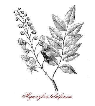Myroxylon toluiferum,tropical American tree, the latex is extracted to produce  Balsam of Peru or Tolu balsam