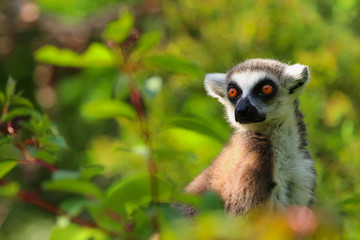 Fototapete - Lemur is sitting in the grass