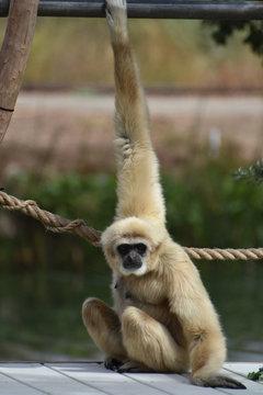 Javan Langur Monkey with Blonde Fur and a Black Face