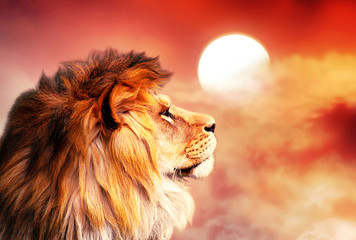 African lion and sunset in Africa. African savannah landscape theme, king of animals. Proud dreaming noble lion in savanna looking to sky. Amazing warm sun light and blazing red cloudy sky.