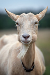Goat with big bulging cheeks, smiling to the camera