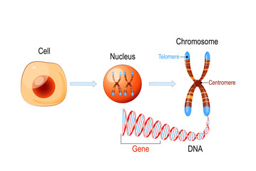 Cell Structure. Nucleus with chromosomes, DNA molecule, telomere and gene