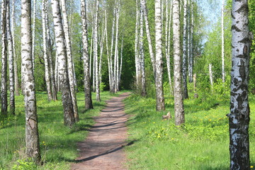 Papiers peints Forets Birch trees with black and white birch bark as natural birch background with birch texture