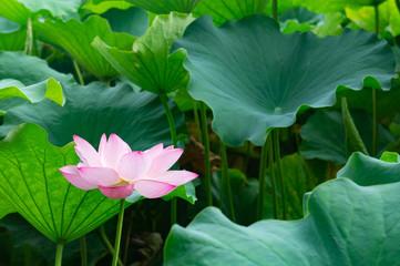 蓮の花、東京上野公園、不忍池