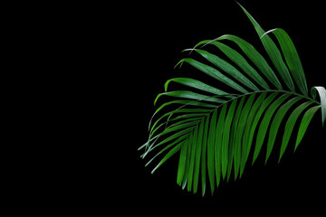 Wall Mural - Tropical rainforest palm leaves foliage plant growing in wild isolated on black background.